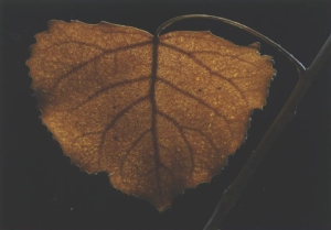 freeze dried cottonwood leaf #14a